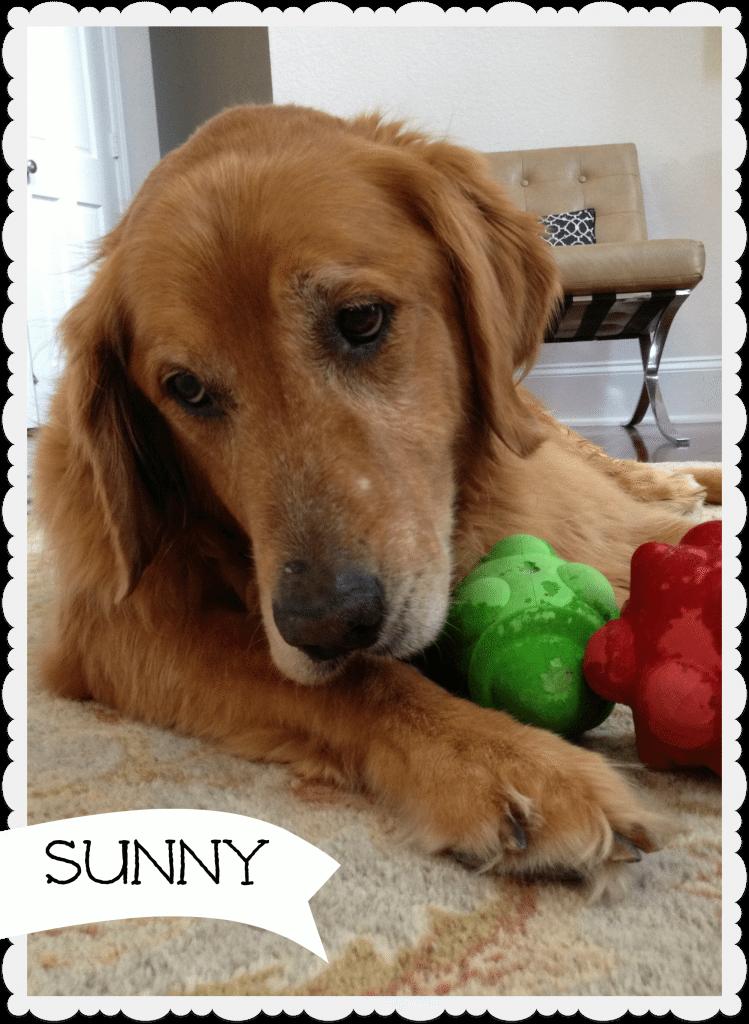 Sunny golden retriever
